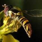 native bee on mustard